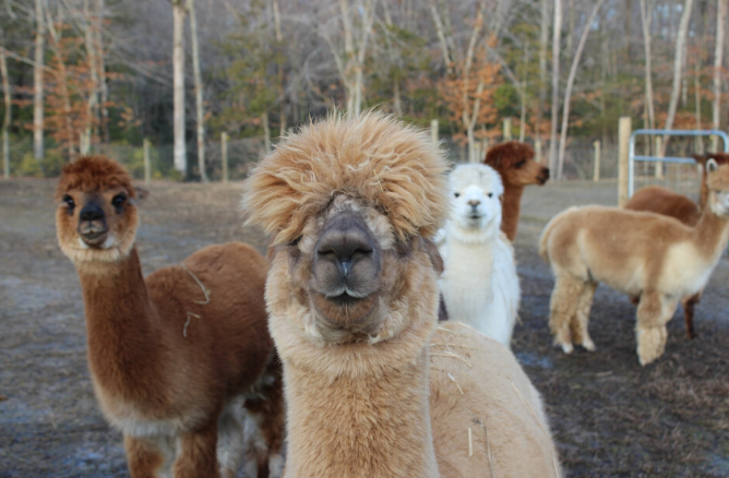 Alpacas at Fox Wire Farm